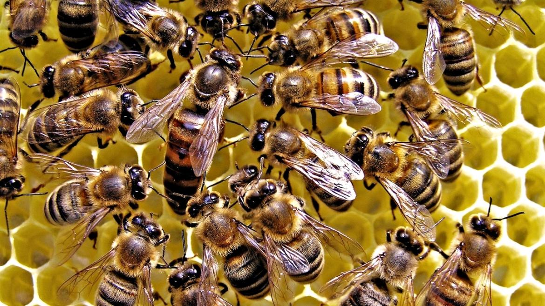 6 Curiosità sull'ape regina