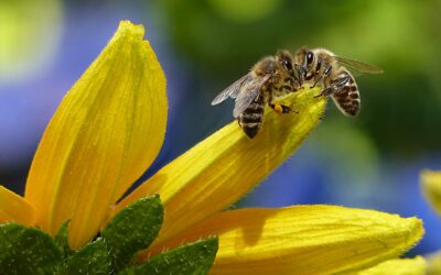 Le api parlano, danzando