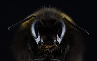 L'arma letale delle api